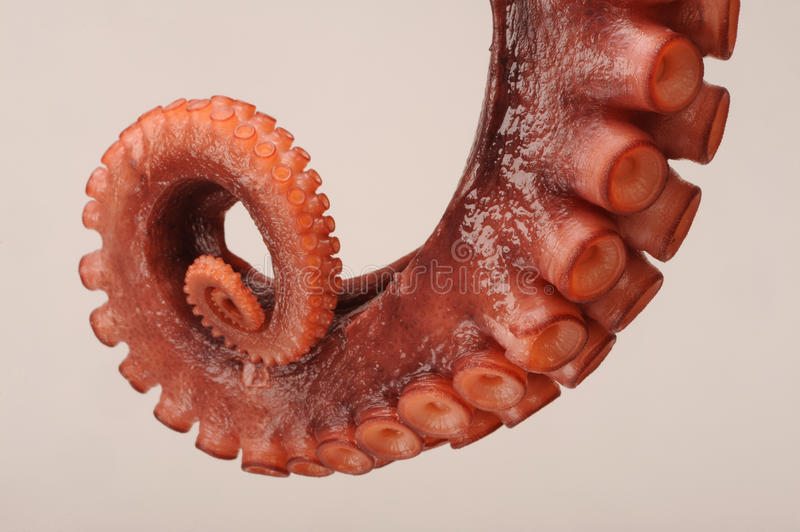 Octopus Tentacle. A closeup view of an Octopus tentacle