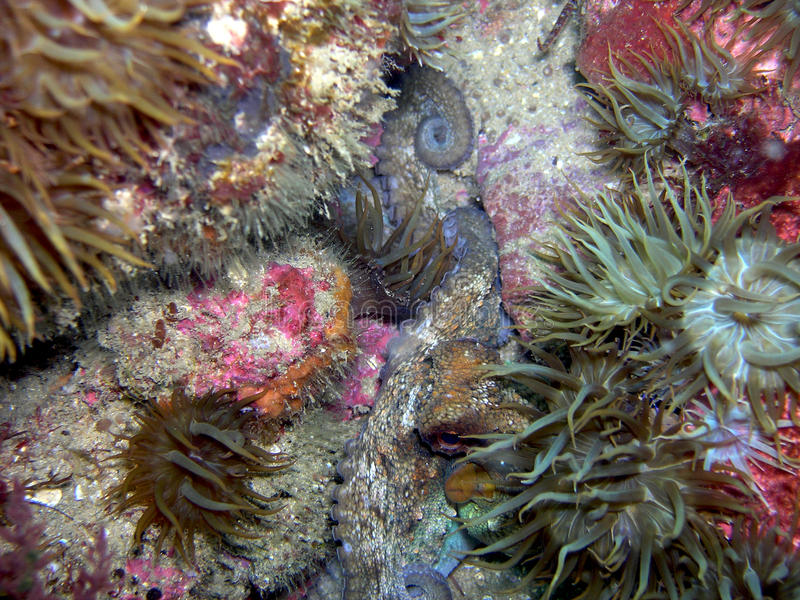 Octopus vulgaris immagine stock