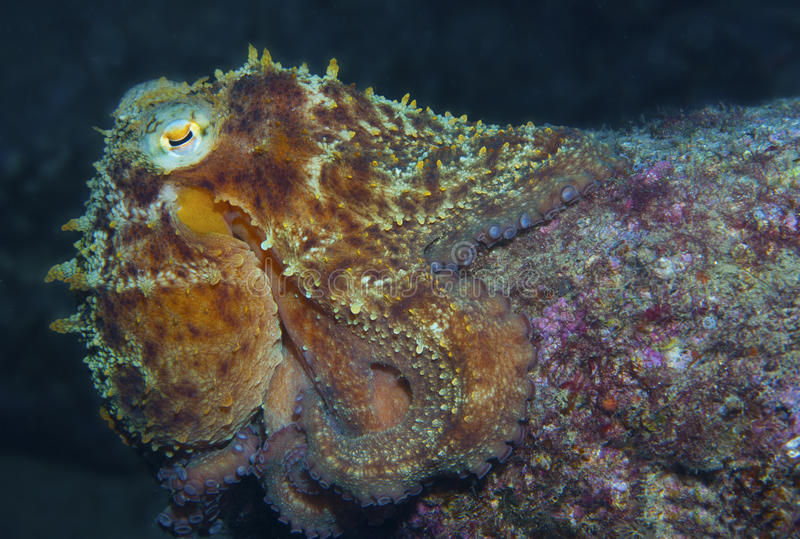 Octopus vulgaris. Is camouflaged on a rock royalty free stock image