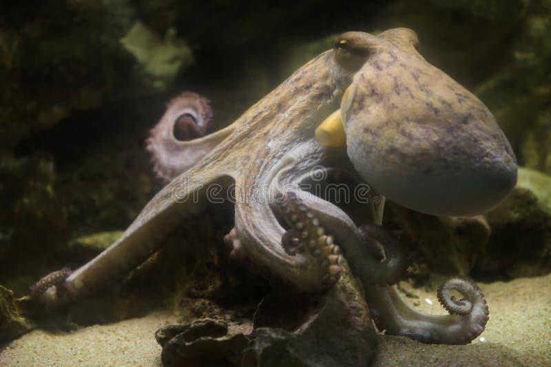 Octopus vulgaris comune del polipo immagini stock libere da diritti