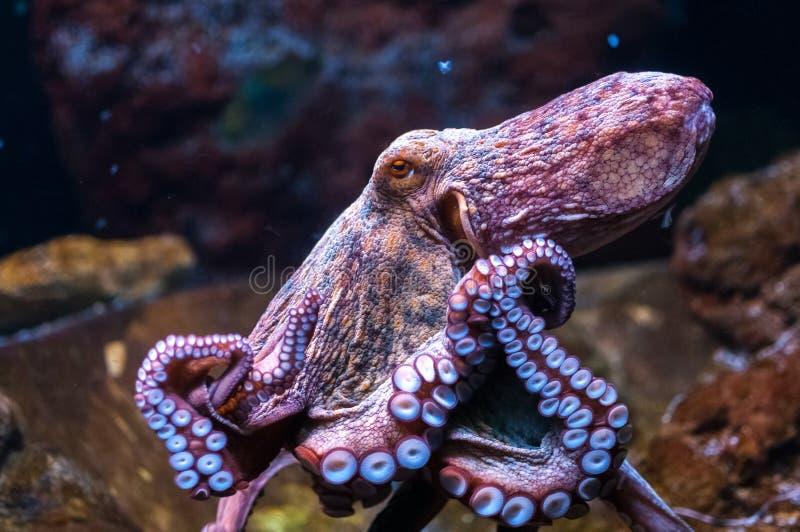 Octopus in water royalty-vrije stock fotografie