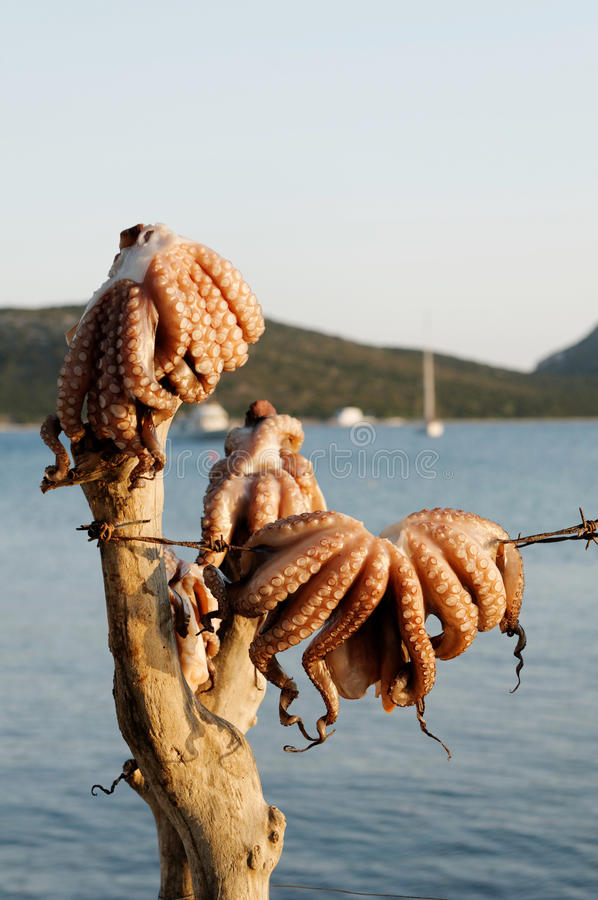 Download Octopuses hanging by sea stock photo. Image of appetizing - 22602892