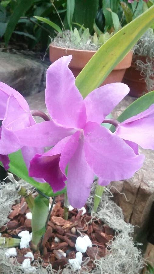 Ocult Orchid fotografia stock