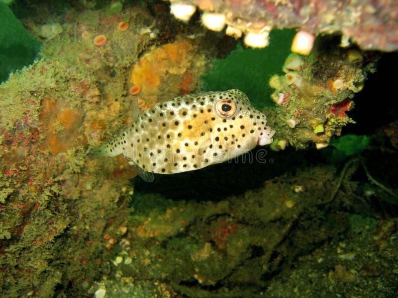 Ocultación del Boxfish foto de archivo
