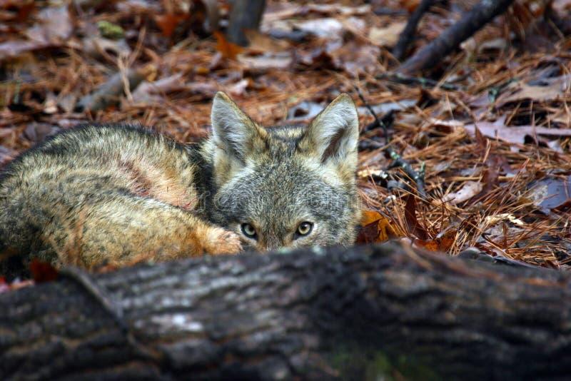 Ocultación del coyote fotografía de archivo libre de regalías