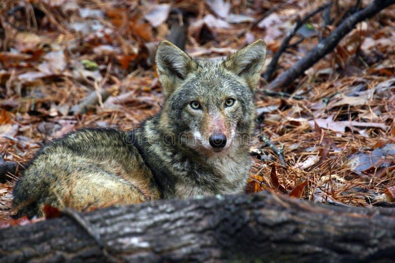 Ocultación del coyote imagen de archivo