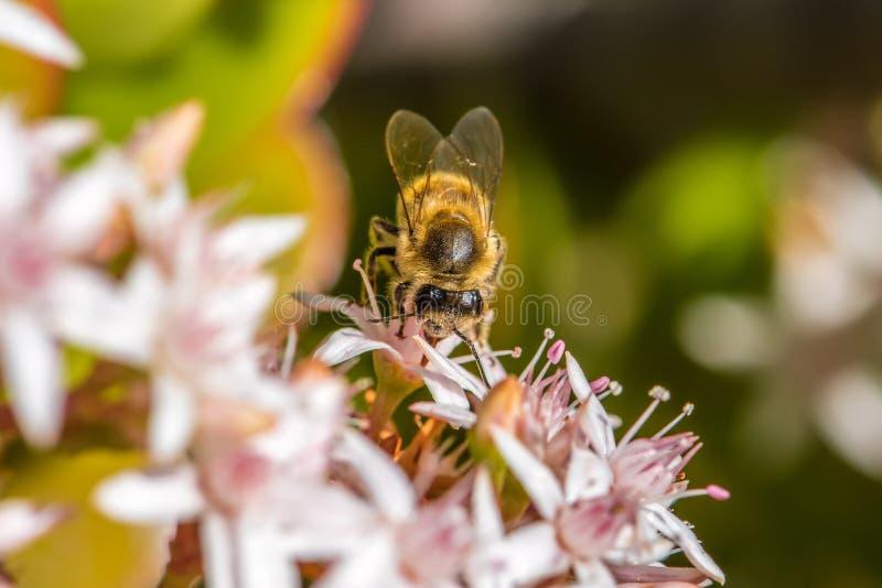 ` Ocupado como ` 2-5 de la abeja fotografía de archivo