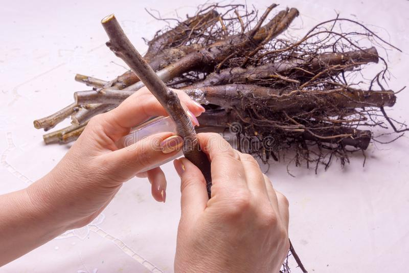 Oczkowanie varietal orzech włoski rozsad zakończenie Pojęcie o obraz stock