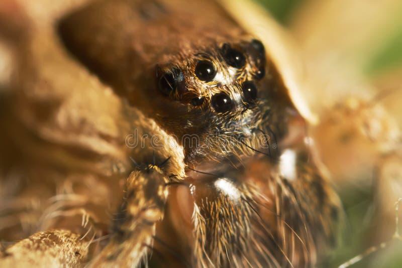8 oczu pająk makro- fotografia stock