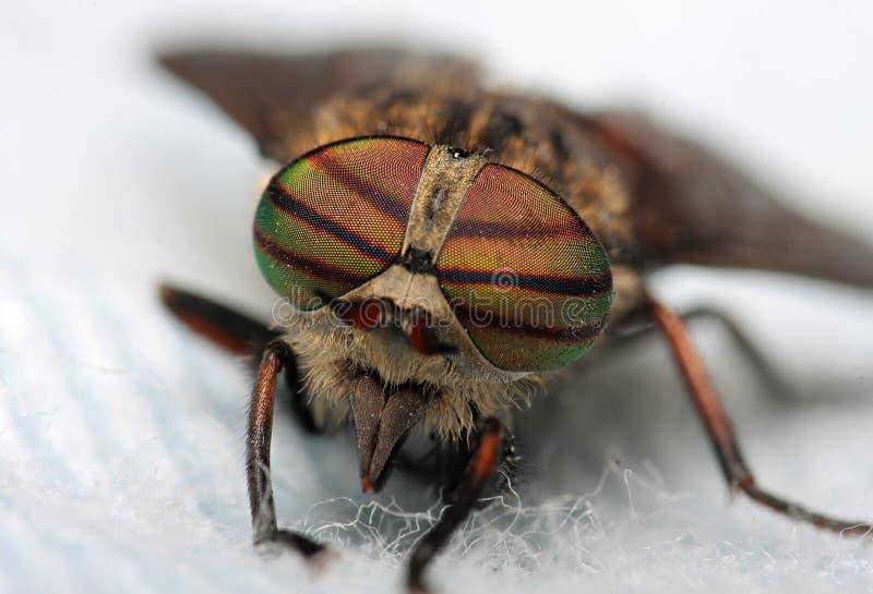 Oczy insekt Portreta giez Hybomitra obrazy stock