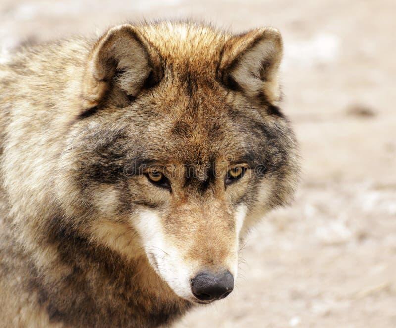Oczy wilk zdjęcia stock