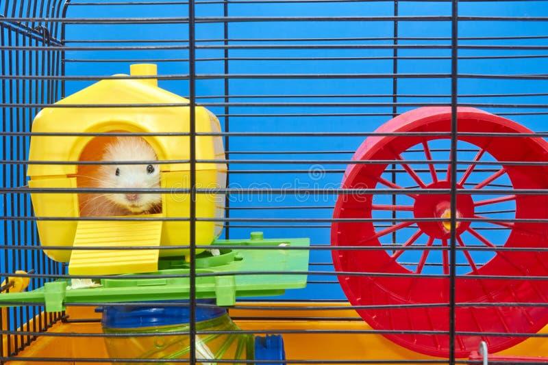Od żółtego domu w klatce chomik jest przyglądający out obraz royalty free
