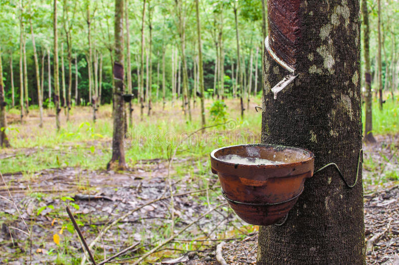 Od gumowego drzewa klapanie lateks zdjęcia stock