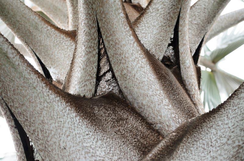 Od podstaw zbliżenie widok Bismarckia nobilis urlopu baza zdjęcia stock