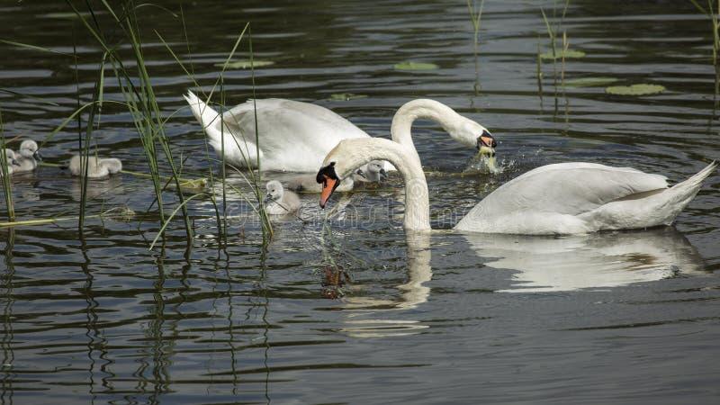Odbicie Łabędzia rodzina w lustrze jezioro zdjęcia royalty free