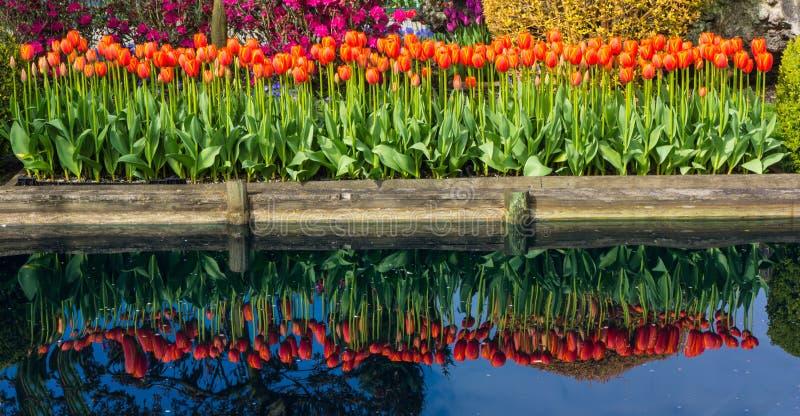 Odbicie Tulipanowi kwiaty fotografia royalty free