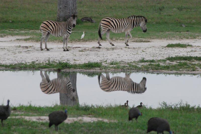 odbicie zebra fotografia royalty free