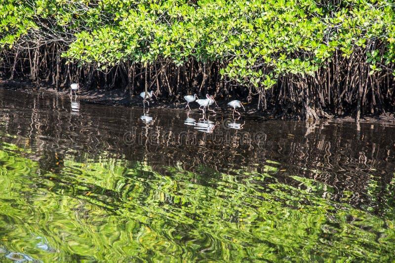 Odbijać ibisy w Namorzynowym bagnie zdjęcia royalty free