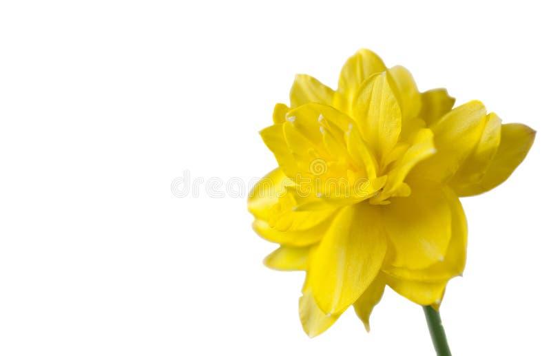 odbitkowy daffodil dobra przestrzeni kolor żółty zdjęcie stock