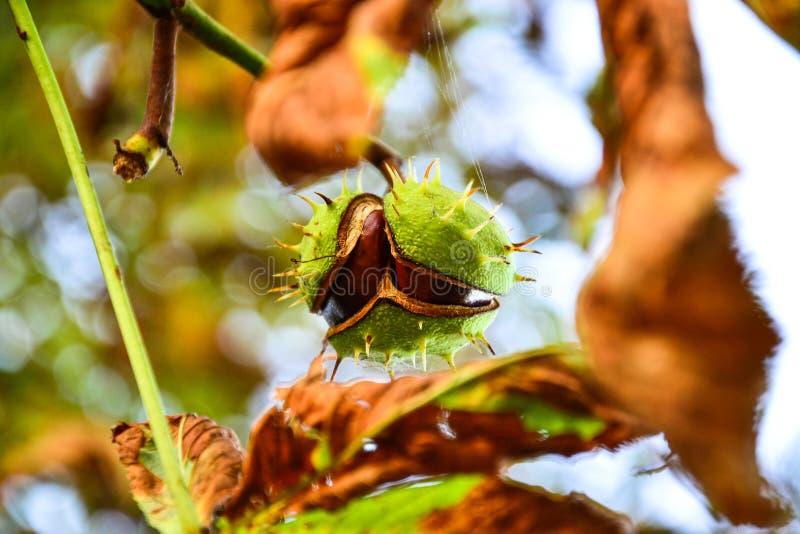 Odchylony cisawy dorośnięcie na drzewie zdjęcia stock