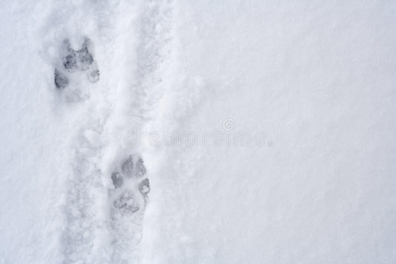 odcisk stopy zwierzęcy śnieg obraz royalty free