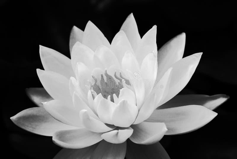 Odczucie pokojowy od czarny i biały lotosu stylu zdjęcie stock