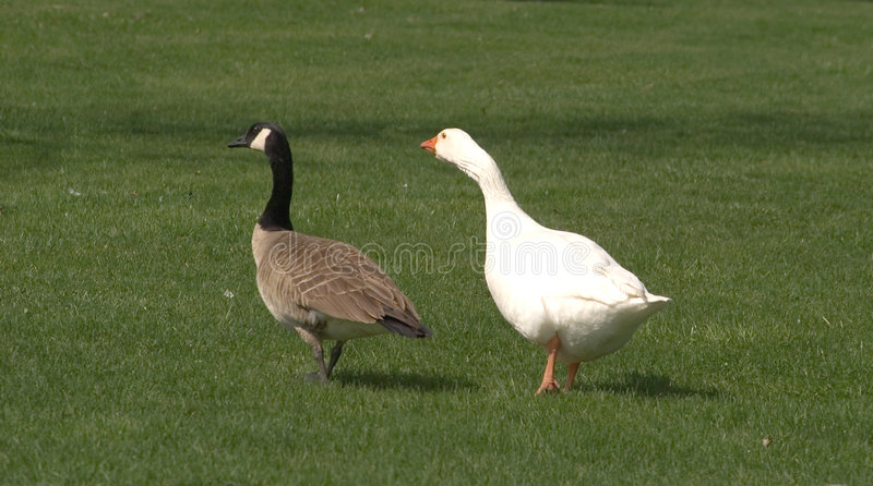 Download Odd Couple stock photo. Image of canadian, goose, wild - 105516