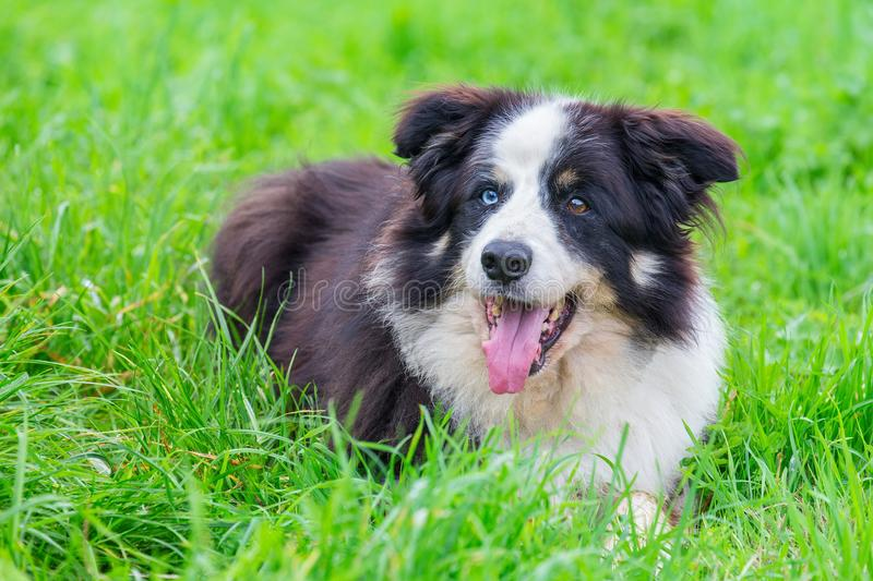 Odd eye border collie lying in grass royalty free stock photo