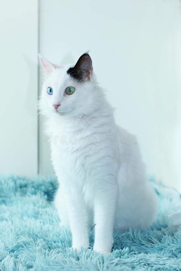 Free Odd Eyed White Cat Sitting On A Light Blue Blanket Indoor Stock Photo - 113348940