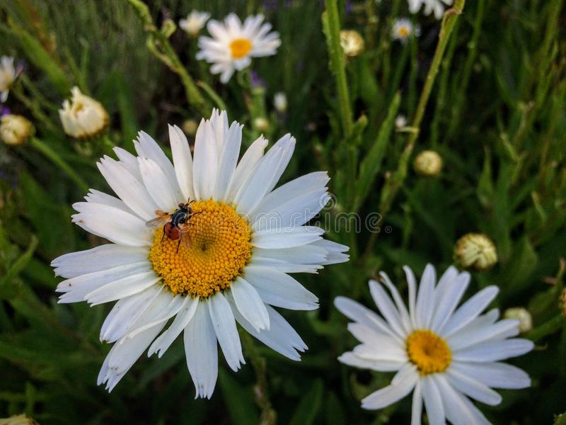 Odd looking Fly with a Red with black dots collecting nectar and pollen from white and yellow daisy in cottage Garden in Utah stock photos