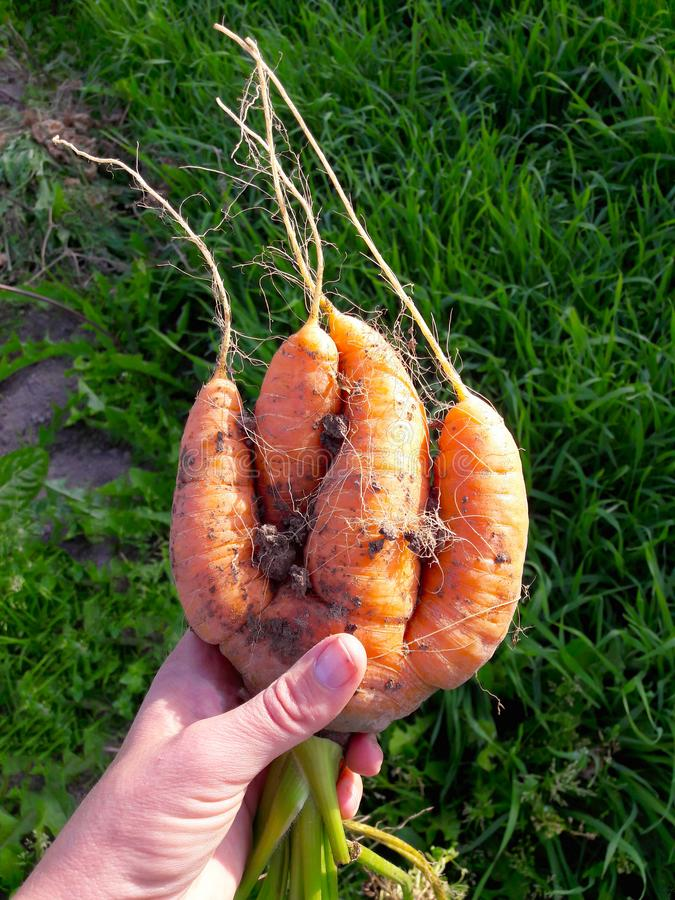 Odd looking weird mutant uneven carrots in hand outdoors, green grass on the background royalty free stock images