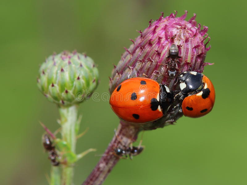 odd-man-out (two ladybirds and ant) royalty free stock images