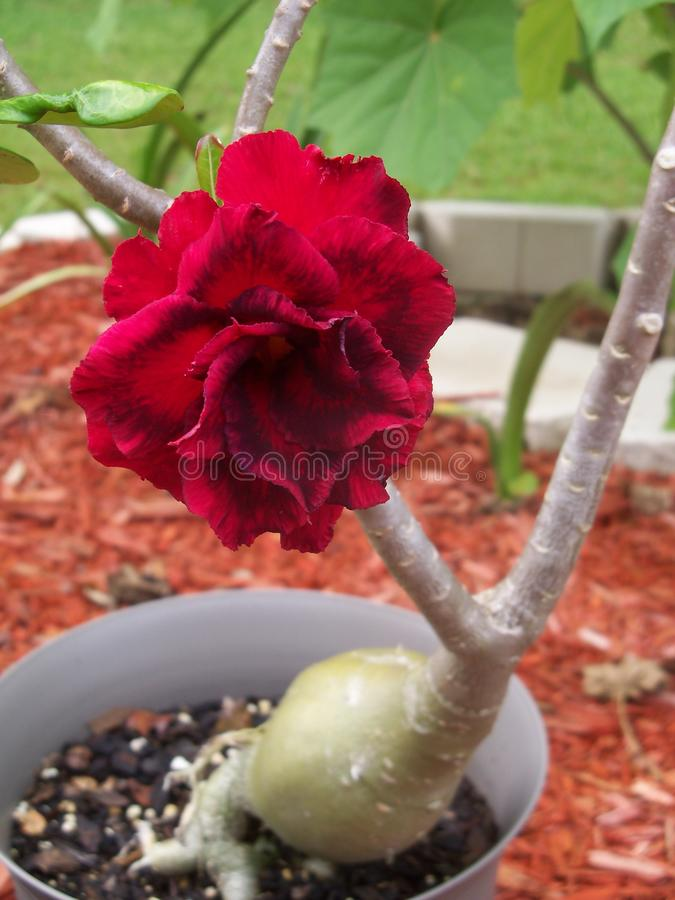 Double red Desert Rose flowering plant. This odd shaped plant graces us with a gorgeous multi petaled two hued red bloom stock images