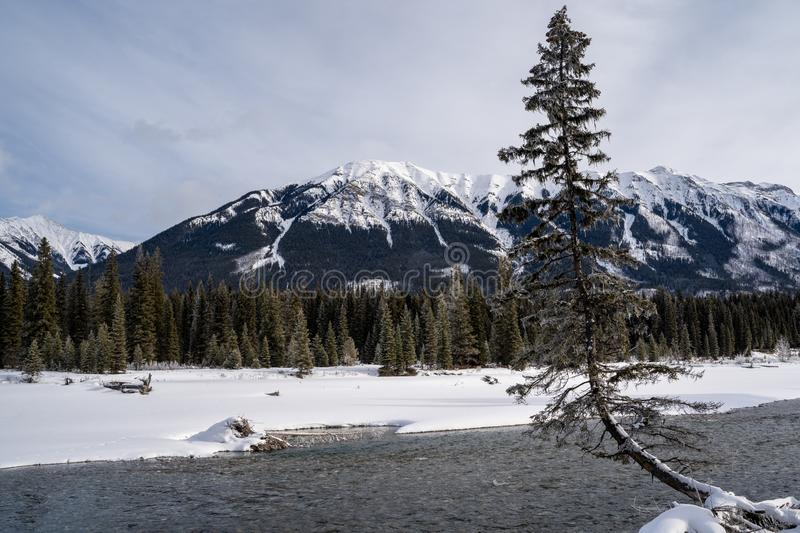 Odd and strange tree growth formation along the banks of the Kootenay River in Kootenay National Park during winter.  royalty free stock photo