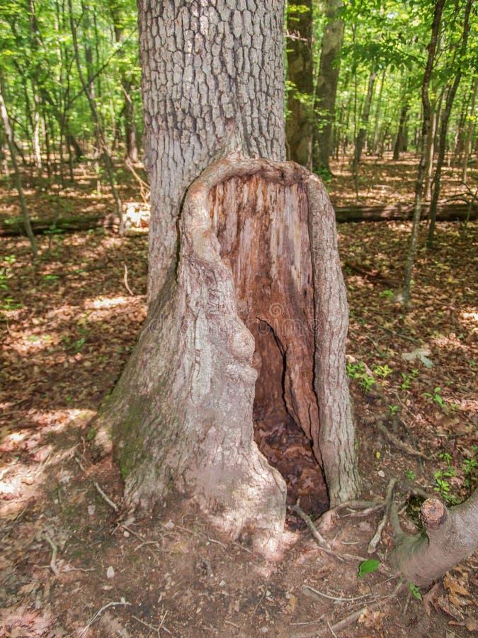 Odd Tree mit hohlem Stamm lizenzfreies stockbild
