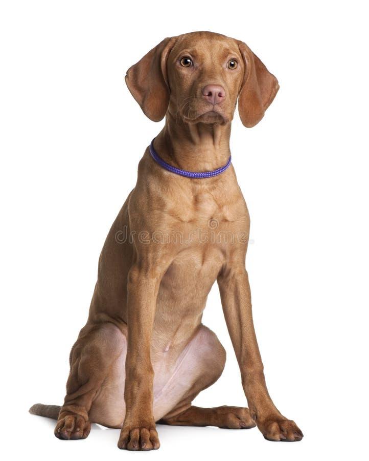oddalonego psiego przyglądającego szczeniaka siedzący vizsla obraz stock