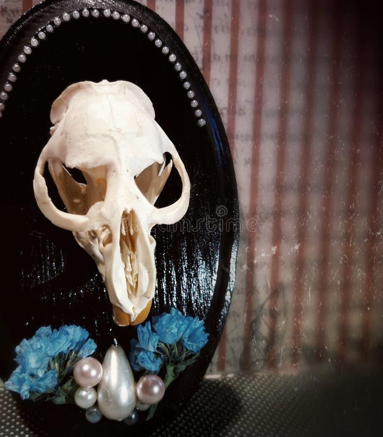 Oddities Mounted Muskrat Skull royalty free stock image