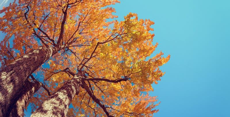 Oddolny widok jesieni drzewo przeciw niebieskiemu niebu fotografia royalty free