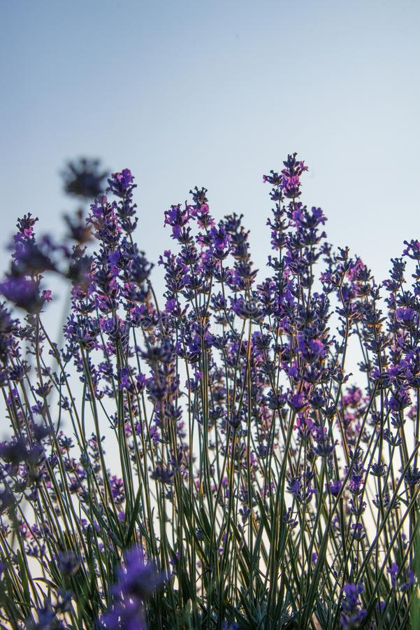 Oddolny widok lawenda kwitnie przeciw jasnemu niebieskiemu niebu zdjęcia royalty free