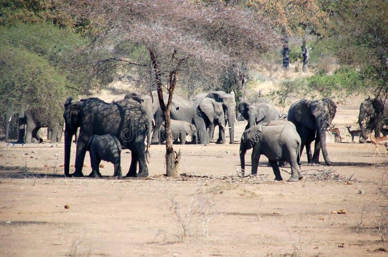 Oddział wojskowy Mama & dziecka słonie fotografia stock