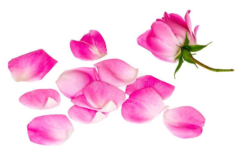 Oddziela róża płatki świeże płatki wzrosły obrazy royalty free