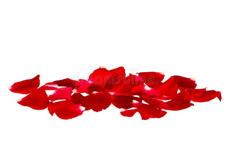Oddzielne purpury róża płatki świeże płatki wzrosły zdjęcie stock