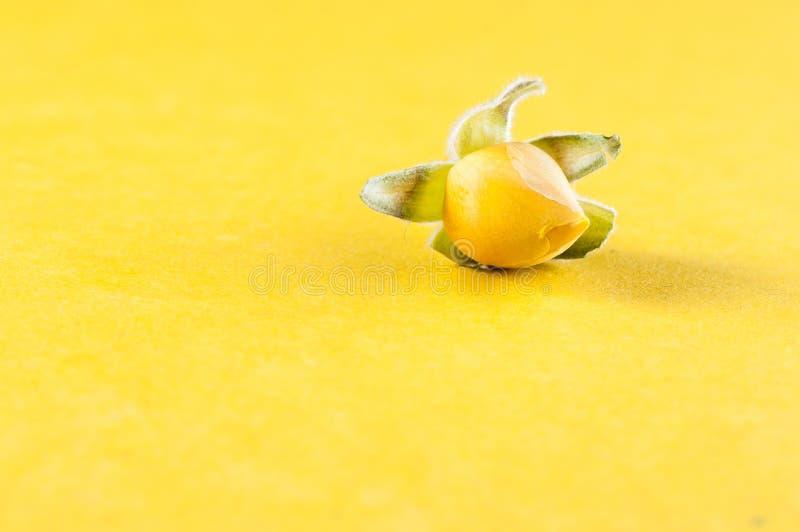 Oddzielnie, kwiat karłowate Chińskie róże z żółtymi płatkami w górę żółtego tła, dalej obrazy stock