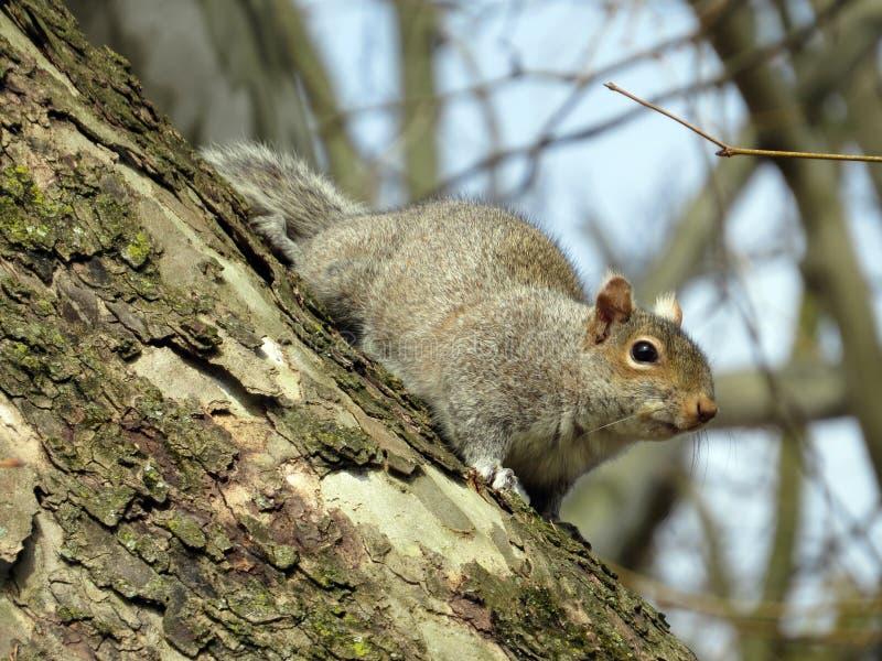 Neugieriges Eichhörnchen lizenzfreie stockfotos