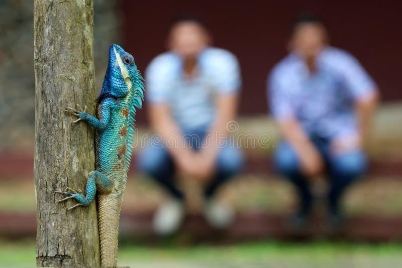 oder indo-chinesischer Forest Lizard Blau-mit Haube auf einem Baum mit Leuten lizenzfreies stockfoto