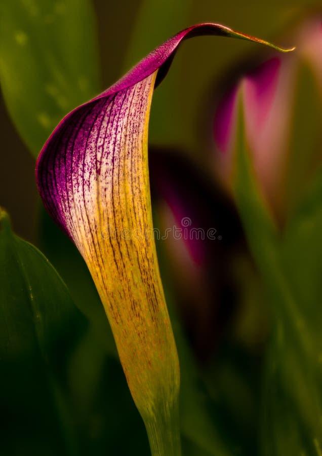 Odessa Black Arum Lily i främsta villkor royaltyfri bild