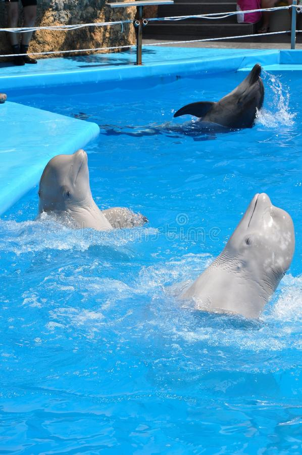 Odessa dolphinarium Nemo holds an unusually wonderful show with dolphins. Clean water of the Black Sea and excellent service. Dolphins are affectionate royalty free stock images