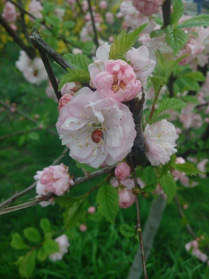 Odessa Sakura royalty free stock images