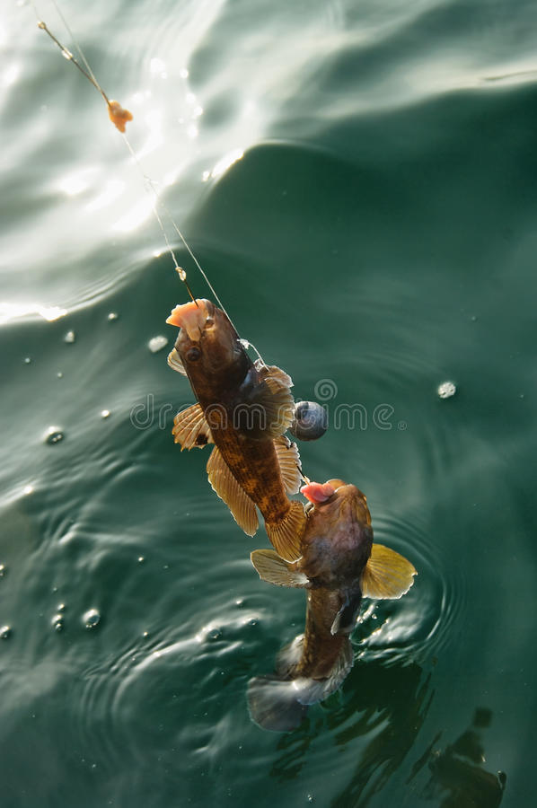 Odessa, Ukraina Listopad 10, 2014: Morski goby dennego połowu troph zdjęcie royalty free