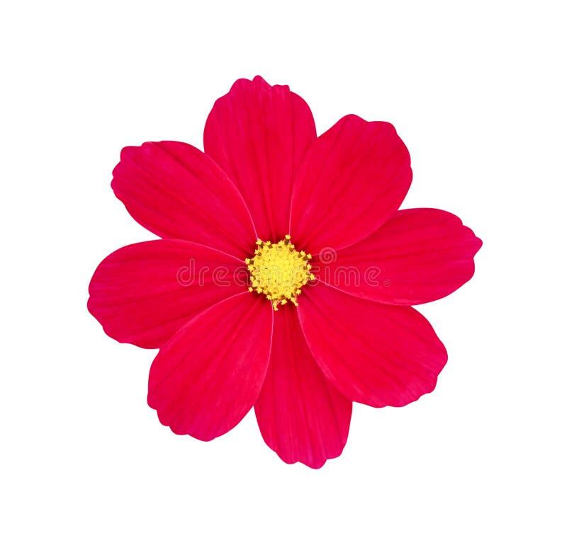 Odgórnego widoku natury różowi lub czerwoni kolorowi jaskrawi kosmosów kwiaty z żółtym pollen deseniują kwitnienie odizolowywając fotografia royalty free